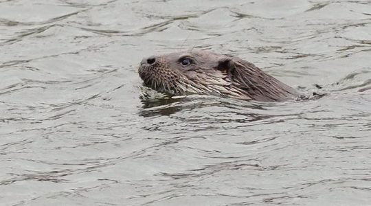 Otter spotted in Westbury